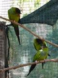 Perroquets verts dans une cage Photographie stock libre de droits