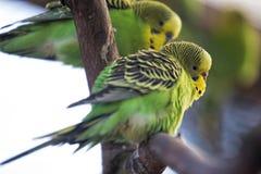 Perroquets verts de perruche images stock