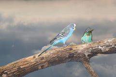 Perroquets verts et bleus de perruche étroits vers le haut de se reposer sur la branche d'arbre images stock