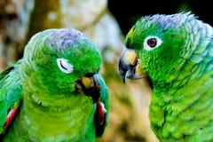 Perroquets verts sauvages parlant le plan rapproché en Amazone péruvienne Iquitos image stock