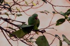 Perroquets verts se reposant sur des branches d'arbre photo stock