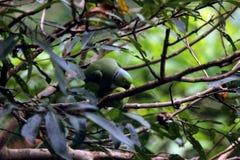 Perroquets verts se reposant sur des branches d'arbre photos stock
