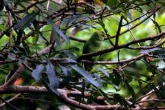 Perroquets verts se reposant sur des branches d'arbre image libre de droits