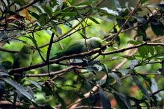 Perroquets verts se reposant sur des branches d'arbre images stock