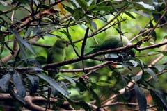 Perroquets verts se reposant sur des branches d'arbre photos libres de droits
