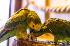 Perroquets verts se reposant sur une corde en parc ornithologique images stock