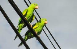 Perroquets verts sur les fils photos stock