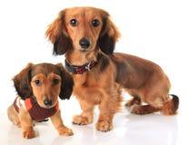 Perros basset Fotografía de archivo libre de regalías