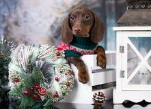 Perros basset de la Navidad del perro basset del perrito en caja fotos de archivo