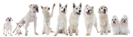 Perros blancos Imágenes de archivo libres de regalías