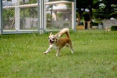 Perros blancos de la chihuahua que corren en el césped Imágenes de archivo libres de regalías