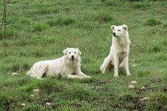 Perros blancos en la hierba Foto de archivo libre de regalías