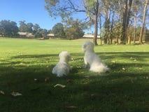 Perros blancos en un parque local Fotografía de archivo
