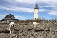 Perros blancos en una playa rocosa con el faro en el fondo fotografía de archivo libre de regalías