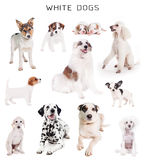 Perros blancos fijados Fotos de archivo libres de regalías