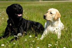 Perros blancos y negros Foto de archivo libre de regalías