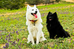 Perros blancos y negros Foto de archivo