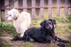 Perros blancos y negros Imágenes de archivo libres de regalías