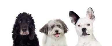 Perros blancos y negros que miran la cámara Imagenes de archivo