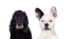 Perros blancos y negros que miran la cámara Fotografía de archivo libre de regalías