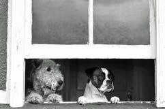 Perros caseros el esperar, mirando con la ansiedad de separación la vuelta del dueño