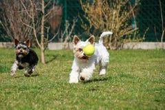 Perros con la pelota de tenis Imágenes de archivo libres de regalías
