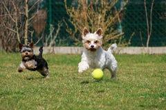 Perros con la pelota de tenis Fotografía de archivo