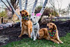 Perros con los equipos de Pascua Fotografía de archivo libre de regalías