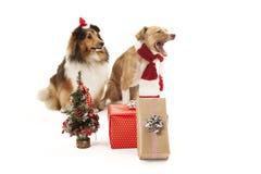 Perros con los presentes Fotografía de archivo libre de regalías