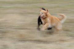 Perros corrientes Fotos de archivo libres de regalías