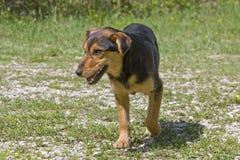 Perros croatas de la calle en naturaleza Imagen de archivo libre de regalías