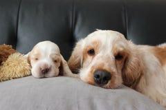 Perros de aguas de cocker imagenes de archivo