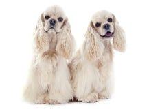 Perros de aguas de cocker americano fotos de archivo libres de regalías