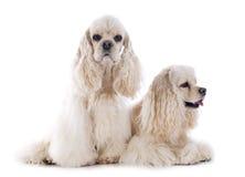 Perros de aguas de cocker americano Imagen de archivo libre de regalías