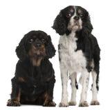 Perros de aguas de rey Charles arrogantes Foto de archivo
