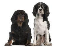 Perros de aguas de rey Charles arrogantes Fotos de archivo libres de regalías
