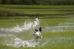 Perros de aguas de saltador inglés Imagen de archivo