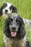 Perros de aguas de trabajo Foto de archivo libre de regalías