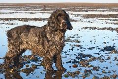 Perros de aguas de un cocker del inglés en la playa foto de archivo