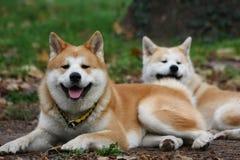 Perros de Akita en parque público Imágenes de archivo libres de regalías