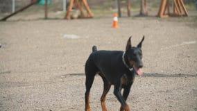 Perros de Alabai y del Doberman almacen de metraje de vídeo