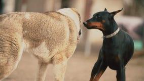 Perros de Alabai y del Doberman metrajes