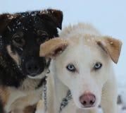 Perros de Alaska de Husky Sled Imagen de archivo