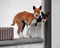 Perros de Basenji Fotografía de archivo