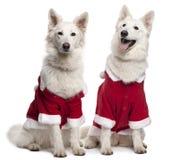 Perros de Berger Blanc Suisse Fotos de archivo libres de regalías