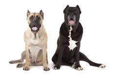 Perros de Cane Corso imagen de archivo libre de regalías
