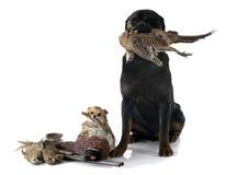 Perros de caza Fotos de archivo