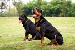 Perros de caza Foto de archivo libre de regalías