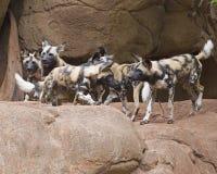Perros de caza africanos Imagenes de archivo