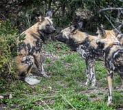 Perros de caza africanos Foto de archivo
